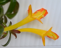 Columnea California Gold