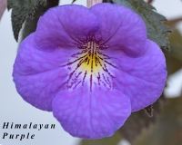Himalayan Purple